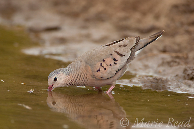 Common Ground-Dove (Columbina passerina), drinking from pool of water, Texas, USA. Pigeons and doves are the only birds able to suck up fluids through their bills.