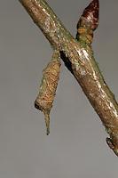 Großer Eisvogel, Raupe bei der Überwinterung in einem Hibernarium, Jungraupe überwintert in einem selbst gebauten Nest aus Blattstück, Limenitis populi, poplar admiral, caterpillar, Le Grand sylvain, Nymphale du peuplier, Edelfalter, Nymphalidae