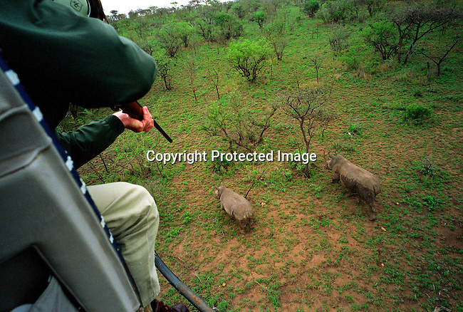 diwlauc00021.Digital. Wildlife. Auctions. Quinton Rochat a game ranger, shoots a tranquilizer dart at two rhinos on October 2, 2003 in Hluhluwe-iMfolozi national park in Natal, South Africa. Mr. Quinton works for Kwa Zulu Natal Wildlife and the rhinos were bought on the yearly wildlife auction in June by an international buyer representing Kolmarden, a Swedish Zoo. The park has a surplus of animals and some are sold each year to finance wildlife conservation and to stop poaching. .©Per-Anders Pettersson/iAfrika Photos.