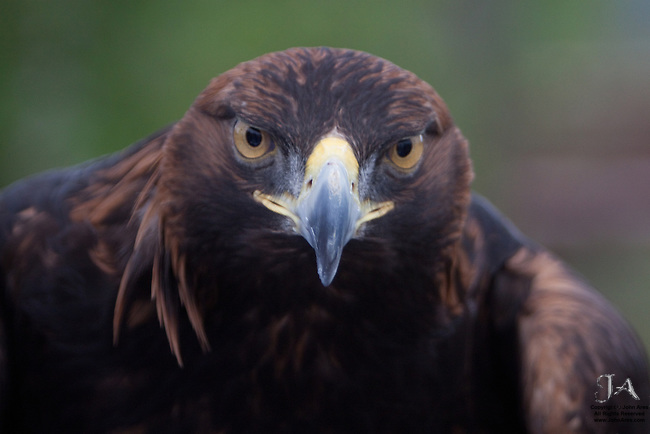 Golden Eagle staring down the camera, captive.