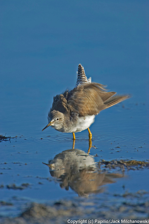 Lesser Yellowlegs, Tringa flavipes, flapping feathers, Rockport, Texas, USA, animal animals aquatic-bird aquatic-birds bird birds natural nature ornithology shore-bird shore-birds untamed wild wildlife yellow-legs wading on mud flats reflection. Lesser Ye