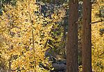 Black cottonwood, Populus balsamifera trichocarpa, and pines, Pinus sp. Hope Valley, Sierra Nevada Mountains, California