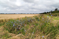 Drainage ditch with wild flowers & summer growth - Lincolnshire, August
