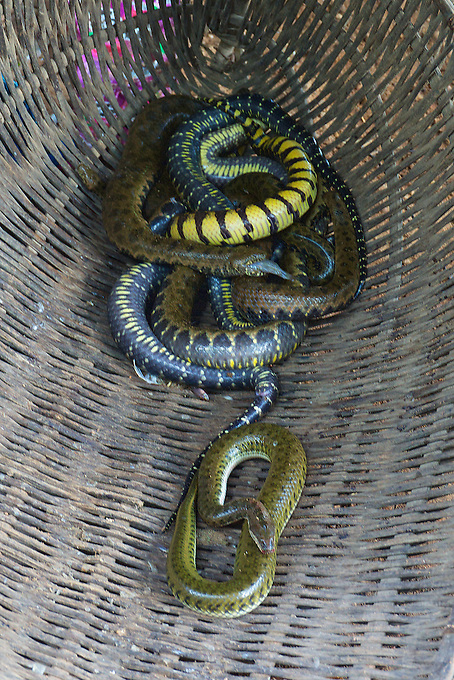 Fresh water snakes caught by fisherman on the Tonle Sap Lake, Cambodia