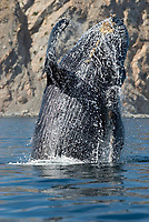 Humpback whale (megaptera novaeangliae) Gulf of California.A humpback whale breaches close to shore., Baja California, Mexico, Pacific Ocean