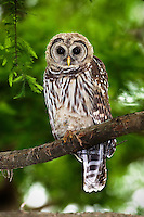 Juvenile Barred Owl in Cypress Tree