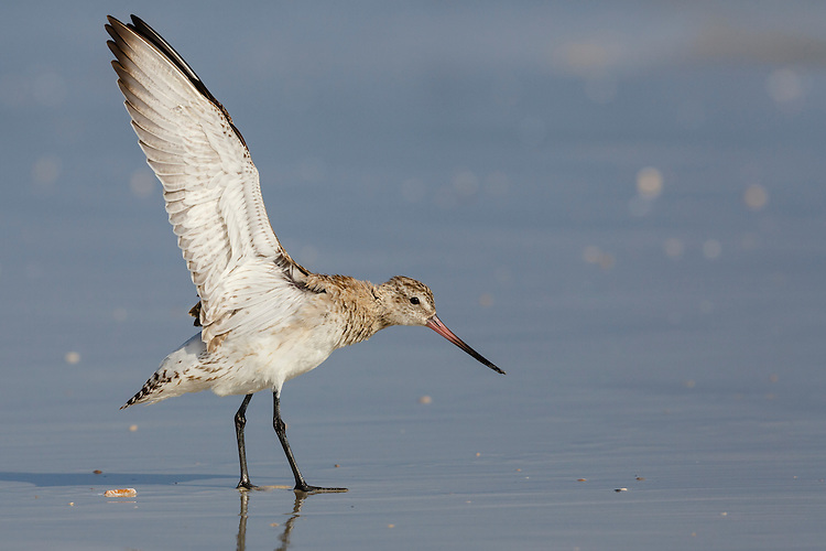Bar-tailed Godwit Limosa lapponica - Winter Adult. L 35-40cm. Large wader with long, slightly upturned bill. Looks shorter-legged than Black-tailed. In flight, note absence of wingbar on upperwing; white rump extends as wedge to lower back and tail is barred. Sexes are dissimilar in summer. Adult male in breeding plumage has reddish orange head, neck and underparts. Back is spangled grey, black and pale buff. Adult female in breeding plumage has buffish orange wash on head, neck and breast, pale belly and greyish back. Winter adult has grey-brown head, neck and upperparts; underparts are pale. Juvenile recalls winter adult but has buffish wash to head, neck and upperparts. Voice Utters a sharp kve-wee call in flight. Status Nests in Arctic; non-breeding visitor to coastal Britain and Ireland.