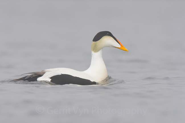Adult male Common Eider (Somateria mollissima) of the Pacific subspecies S. m. v-nigrum. Seward Peninsula, Alaska. June.
