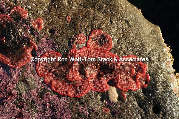 Red Bryozoan (Eurystomella bilabiata) a/k/a Rosy Bryozoan, Pink Encrusting Bryozoan. Fitzgerald Marine Reserve. Moss Beach, San Mateo Co., Calif.