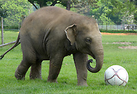 Bedfordshire, England - A bit too late to make Roy Hodgson's England Squad for Euro 2012 Soccer champs, but Bedfordshire - Donna the Elephant shows some soccer skills as she enjoys a kickabout at ZSL Whipsnade Zoo..The Bedfordshire Zoo is preparing to host the 'Shaun the Sheep Champion-sheeps', which takes place at the Zoo, near Dunstable, Beds from 2 June to 10 June...Photo by Jane Burrows.