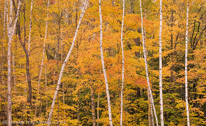 Birch Forest in Autumn