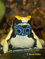 "1028-07oo  Dendrobates tinctorius ñ Dyeing Poison Arrow Frog ""Giant Orange Morph"" ñ Tincs Dart Frog  © David Kuhn/Dwight Kuhn Photography"