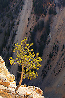 Small pine tree at edge of cliff Grand Canyon of the Yellowstone, Yellowstone National Park, Wyoming, USA