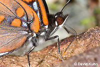 "0704-0807  Close-up of White Admiral Butterfly ""Details of Proboscis Drinking Moisture from Animal Feces"", Limenitis arthemis ""Northeast United States Form""  © David Kuhn/Dwight Kuhn Photography"