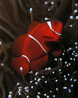Spine-cheek Anemonefish - (Premnas biaculeatus). AKA -Spinecheek Clownfish, Spined-cheeked Anemonefish, Two Spine Cheek Anemonefish, Maroon Anemonefish and Maroon Clownfish.