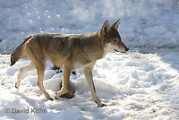 0221-1010  Critically Endangered Red Wolf in Snow, Canis rufus (syn. Canis niger)  © David Kuhn/Dwight Kuhn Photography.