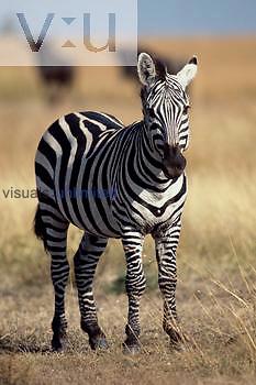 A Burchell's Zebra. ,Equus burchelli,
