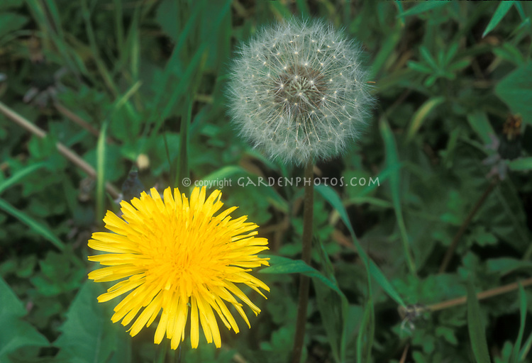 Dandelion Taraxacum officinale in yellow bloom and white fluffy seeds