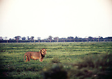 BOTSWANA, Africa, a male lion in Chobe National Park and Game Reserve at dusk