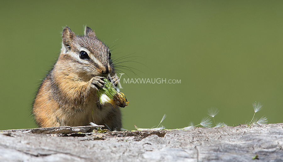 This chipmunk was busy foraging and eating dandelions.