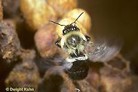 BU26-005z  Bumblebee - worker fanning wings to cool colony - Bombus impatiens
