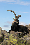 Mature adult male Spanish Ibex resting on rocks,Sierra de Gredos,Avila,Spain. ( capra pyrenaica )