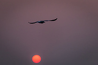 In the San Francisco Bay Area, a gull flies over an orange sun, glowing in a sky filled with smoke from the Camp Fire burning 180 miles away.