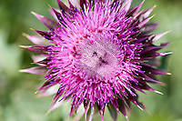 Musk thistle may grow 6- to 7-feet tall and has brilliant purple blossoms. This noxious weed is widely established in the Greater Yellowstone Ecosystem, but native to southern Europe and western Asia.