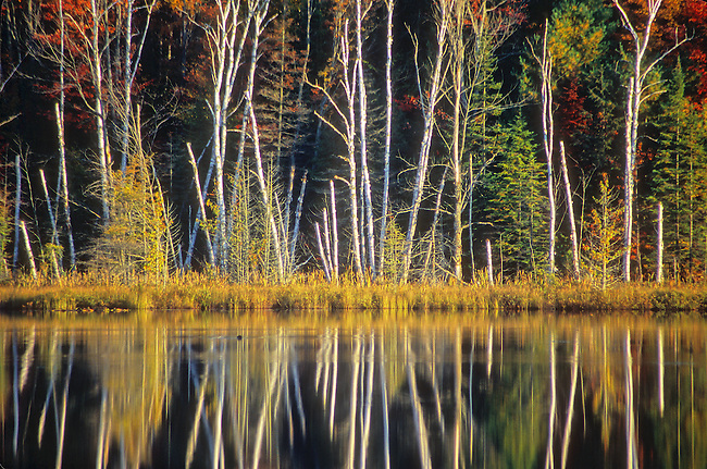 Birch tree trunks pop out opf a dark background of forest wetland on the shore of Council lake in Michigan's Upper Peninsula's Hiawathwa National Forest, in Alger County, Michigan.