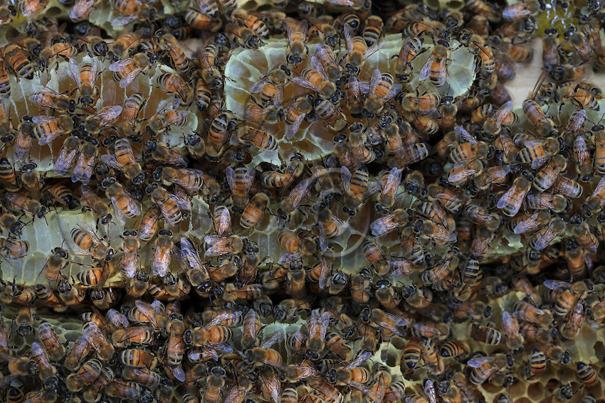 Three honey rayons covered in bees. The parallel honey combs of the Apis Mellifera, the common bee, are the main evolution of this species as compared to its ancestor l'Apis Cerana. The parallel honey combs allow for considerable reserves and are the only means for thermal regulation.