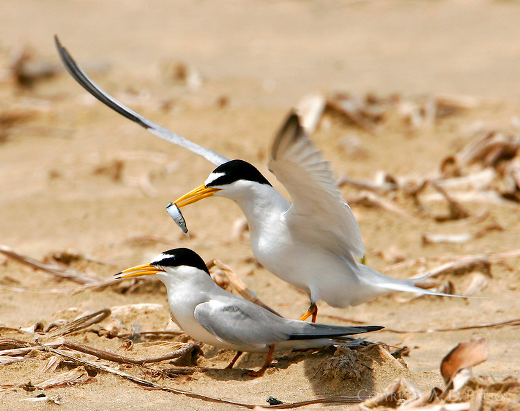 Pair of least terns mating. The male is offering a fish.