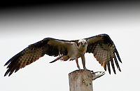 SUBJECT: Osprey with a live fish IMAGE: Osprey, still wet from its plunge, endeavours to keep its balance atop a pole as its live catch wriggles in its talons.