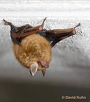 0411-1003  Little Brown Bat (syn. Little Brown Myotis), Myotis lucifugus  © David Kuhn/Dwight Kuhn Photography.