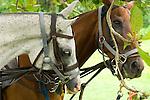 Horses in Jamaica