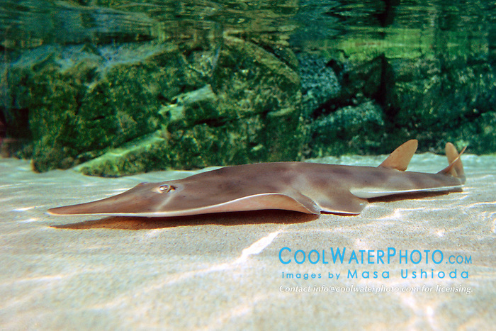 shovelnose guitarfish (c), .Rhinobatus productus, .California (E. Pacific)
