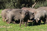 ESP, Spanien, Andalusien, Schweinezucht fuer Serrano-Schinken | ESP, Spain, Andalusia, pig breeding for Serrano-ham
