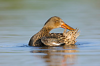 Adult female Northern Shoveler (Anas clypeata) preening. King County, Washington. April.