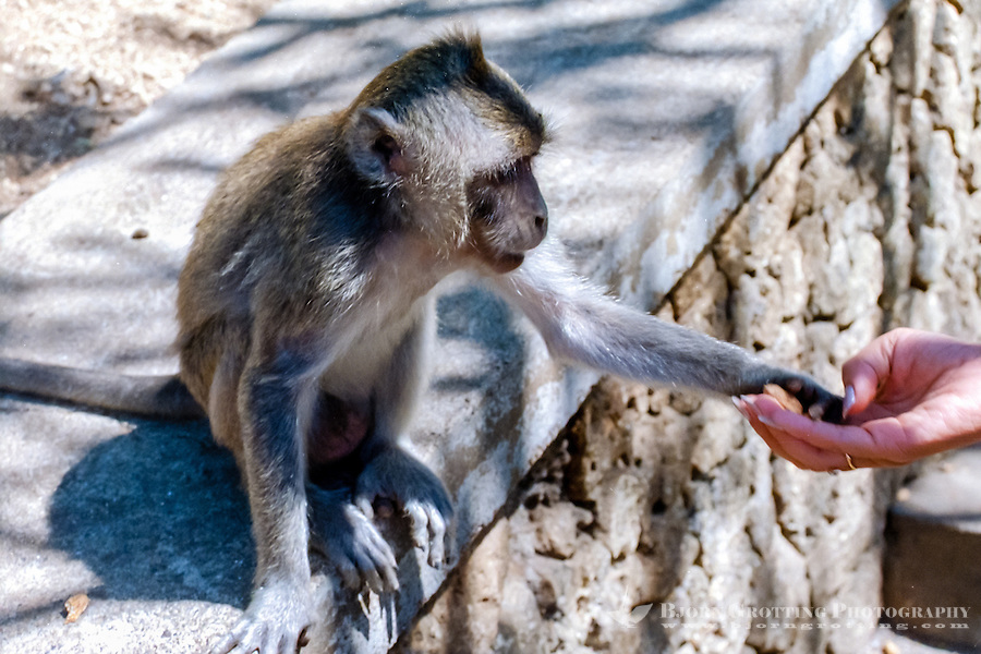 Bali, Badung, Uluwatu. Feeding a monkey. Keep an eye on your belongings!