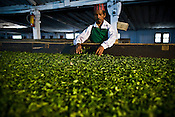 55 year old factory worker, Indrey Sarki is seen spreading the first flush Darjeeling tea leaves' pluck during the weithering process at Makaibari Tea Estate factory, Kurseong in Darjeeling, India.