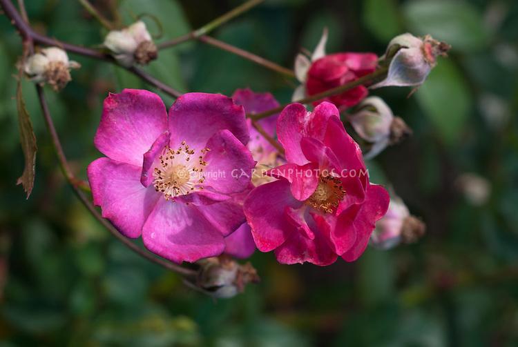 Rosa Daydream single rose pink , Easy Elegance roses, avender-pink single flowers cluster shrub rose