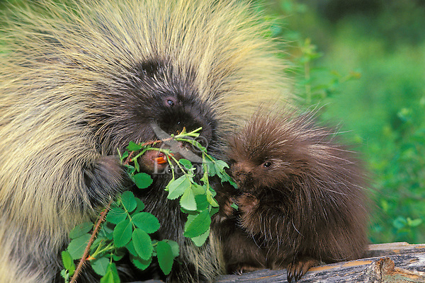 Porcupine adult and young (Erethizon dorsatum) nibbling wild rose.