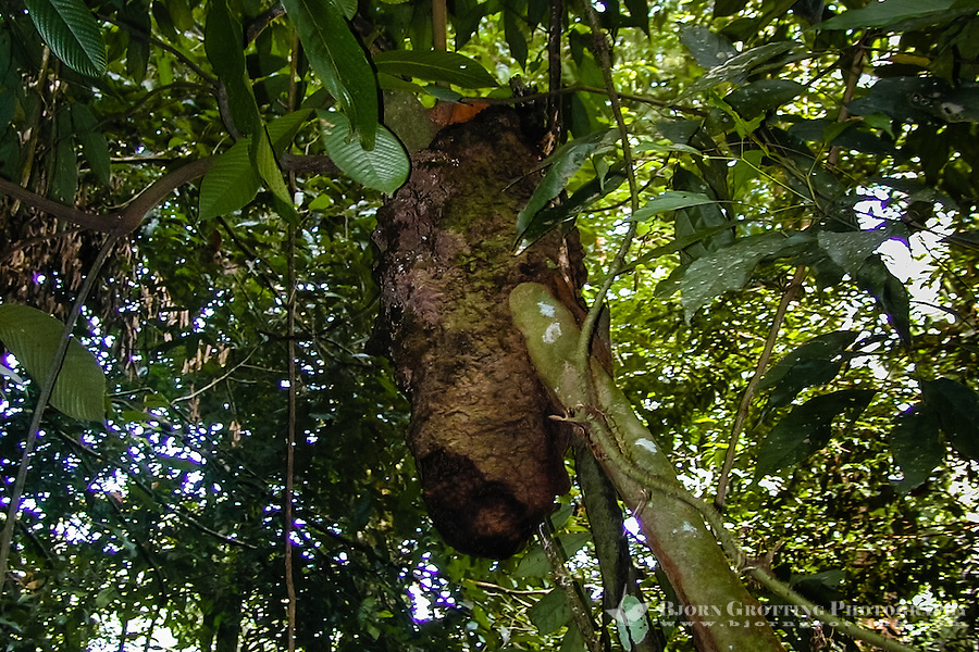 Indonesia, Sumatra. Bukit Lawang. Gunung Leuser National Park. Termites are popular among the orangutans as supplementary food.