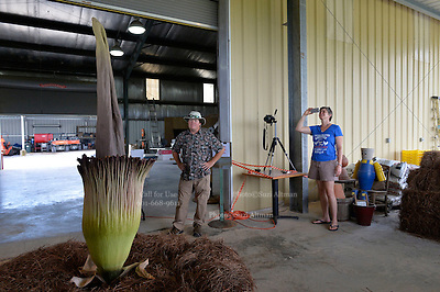 """""""Spike"""" the rare Titan Arum aka corpse plant bloomed today after 9 years in a greenhouse. It was brought outside to bloom because the putrid smell and to see what bugs it would attract.  Horticulturist at Mississippi State University Agricultural and experiment station in Poplarville Mississippi want to study what kind of insects it attracts. It has also attracted a good number of visitors. """"Spike"""" or the corpse plant ,Titan Arum the largest flower in the world is smells  like rotting meat. Pictured is artist Ellen Langford making photos of """"Spike"""" to later make paintings from.Photo © Suzi Altman"""