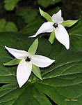 Trillium wildflower in the Elkmont area of the Great Smoky Mountains National Park.