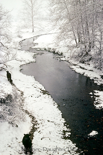 Two cows and calf walking along a creek in a winter storm on their way to the barn