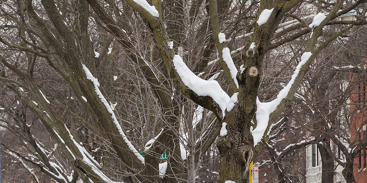 Snow covered trees on the Lincoln Park Campus Tuesday, Feb. 3, 2015, following a weekend blizzard that brought double digit snow totals to the city of Chicago. (Photo by Jamie Moncrief)