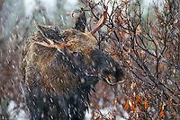 Young bull moose in snowstorm, Denali National Park, Alaska.