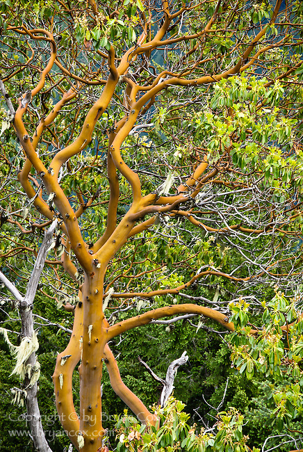 Pacific madrone, Cascade mountains, Oregon