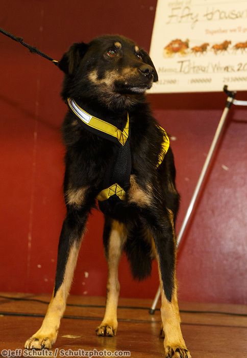 Dallas Seavey's dog Beatle wins the City of Nome Lolly Medley Golden Harness Award at the musher 's finishers banquet in Nome on Sunday March 16 after the 2014 Iditarod Sled Dog Race.<br /> <br /> PHOTO (c) BY JEFF SCHULTZ/IditarodPhotos.com -- REPRODUCTION PROHIBITED WITHOUT PERMISSION
