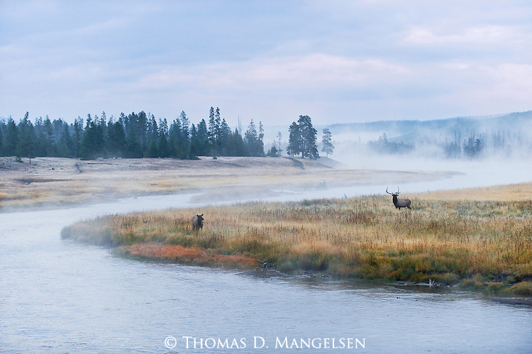 A bull and cow elk stand at the river's bend in the early autumn morning as fog rises off the Madison River in Yellowstone National Park, Wyoming.